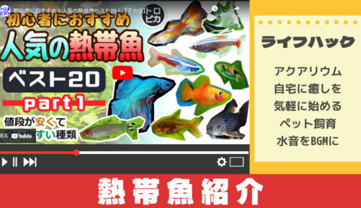 教育系YouTuberから学ぶ人気の熱帯魚